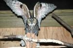 long-eared-owl