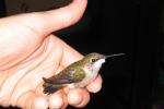 z3hummingbird